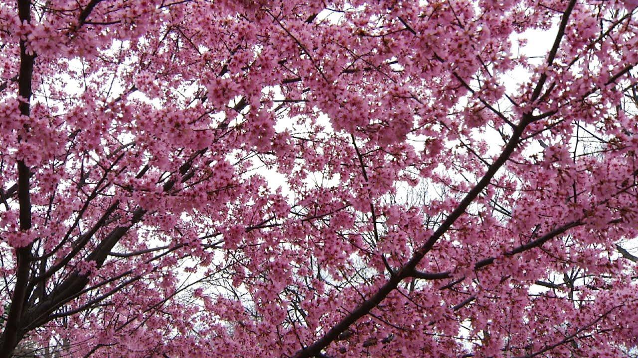 Cherry Blossom Videos