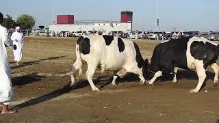 Bull Fighting in Fujairah, UAE 2020