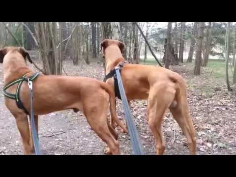 2015-04 Texas & Dallas Two Razor Sharp Rhodesian Ridgeback Kings Of The Forest