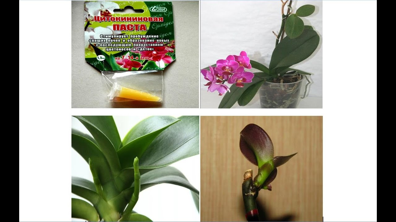 Для размножения орхидей паста