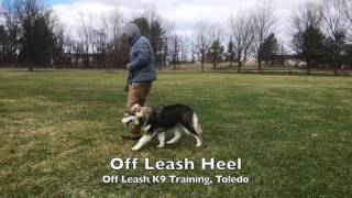 Dog Training: The Alaskan Malamute, Elly! Before/After Two Week Board and Train