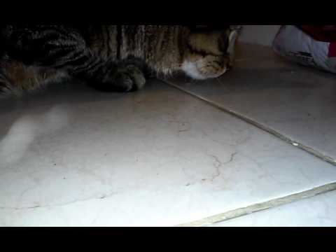 Cat Kills And Later Eats Silver Fish Youtube