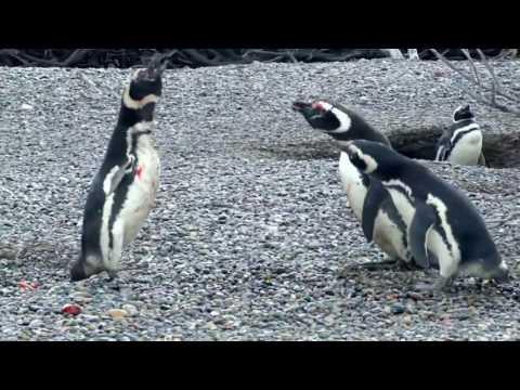 драка между пингвинами