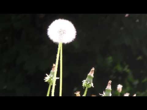 Flowers - Taraxacum- Free Stock Footage