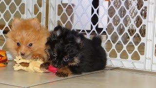 Pomeranian, Puppies, For, Sale, In, Houston, Texas, Tx, Mcallen, Mckinney, Mesquite, Plano