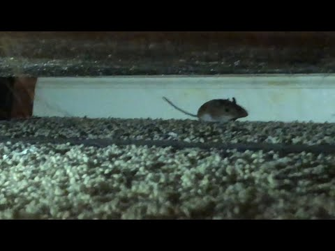 A mouse is in a house, full of people.   Dex Rex play's 21
