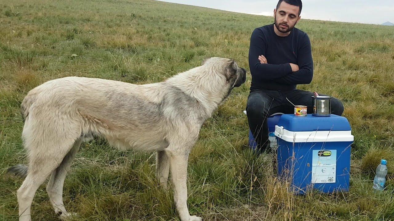 kangal dog interrupts my monolog at high pastures of Sharri Mountains