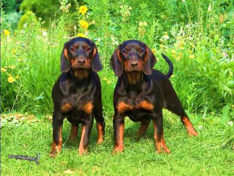 Black and Tan Coonhound - YouTube