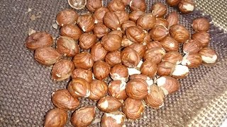 Лучший способ колоть лесной орех 🌰