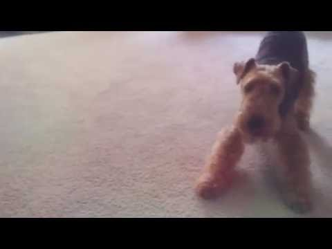 Welsh Terrier Puppy VS. Jack Russell Terrier