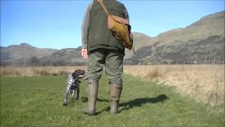 Gundog Training A Gsp Puppy At 10 Month
