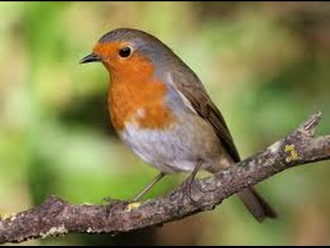 Chant du rouge gorge au printemps erithacus rubecula youtube - Chant fauvette des jardins ...