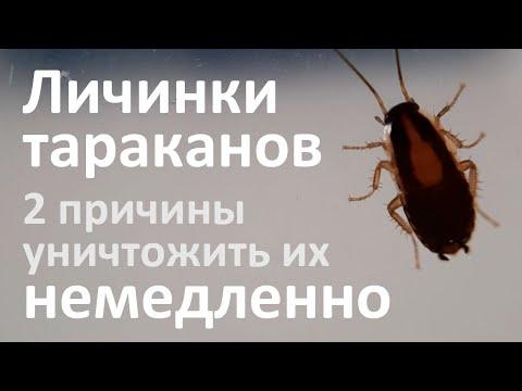 Личинки тараканов: как они выглядят и чем они опасны в квартире?