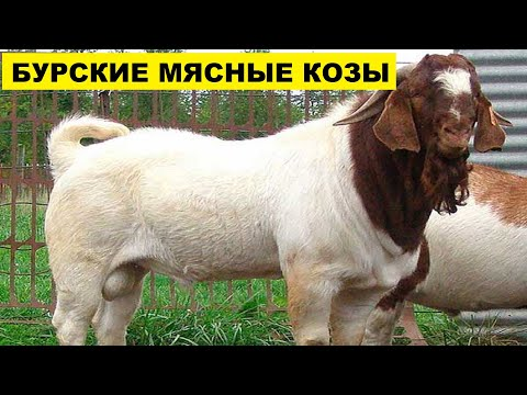 Разведение мясных Бурских коз   Козоводство   Бурская порода коз и ее особенности