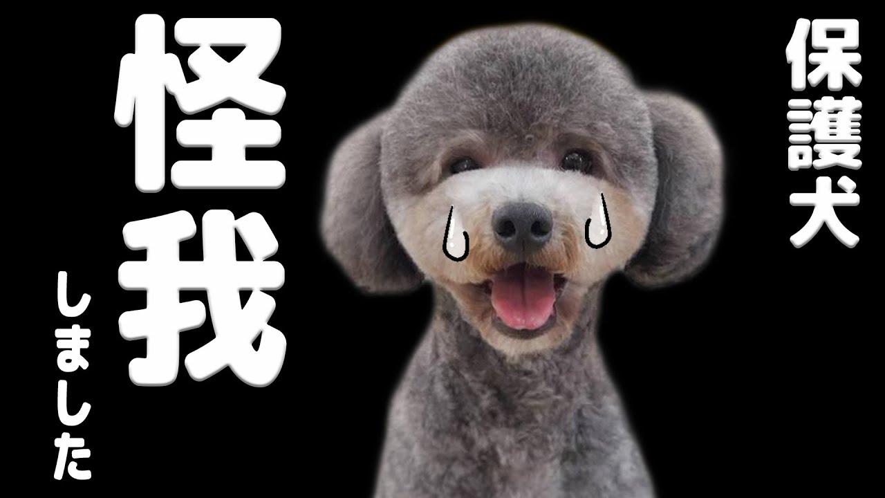 お知らせ!怪我をしました。一瞬の出来事に胸がドキドキ・・・ ハスキー犬と保護犬トイプードル