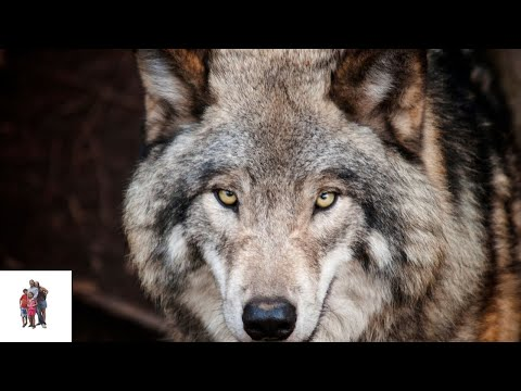 Yellowstone National Park, Animals Video III