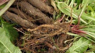 Очистка печени: настойка из корней лопуха и одуванчика ~ народная медицина