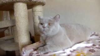 Британский кот редкого окраса фавн PLATON Tamaky*RU