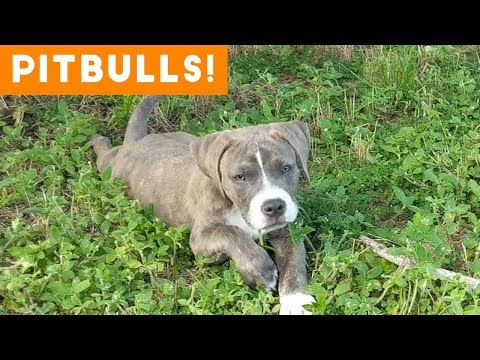 Ultimate Pitbull Compilation 2018 | Cutest Funny Pitbull Videos Ever