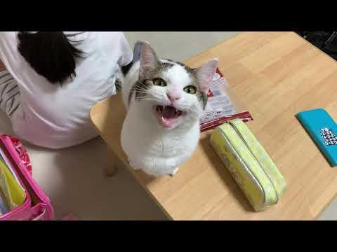 娘の何かを狙う猫がかわいい   Cute cat aiming at my daughter's belongings.