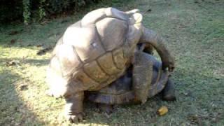 Giant Tortoise Making love
