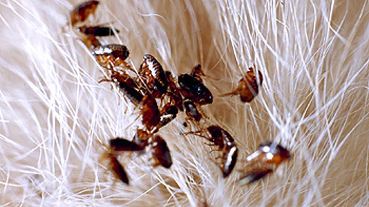 como eliminar pulgas de manera casera