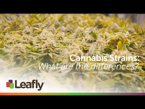 Cannabis Strains: What are the Differences?