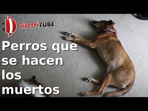 Perros que se hacen los muertos