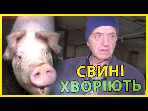Чем свиньи болеют