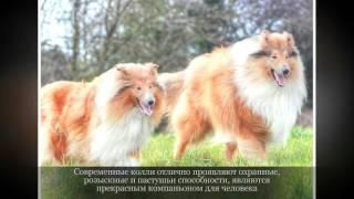 Колли Средние породы собак