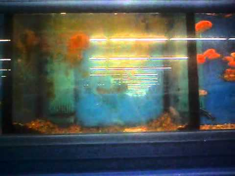 Walmart fish neglect green spotted puffer youtube for Walmart fish finder