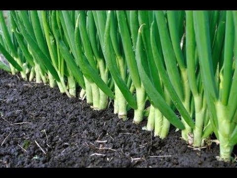 Лук и чеснок будет как в сказке после этих действий! | выращивание | хозяйство | чесноком | растения | пожелтел | луковая | огород | делать | весной | умное