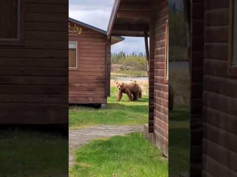 132 And Yearling At Brooks Lodge, AK - May 20, 2019