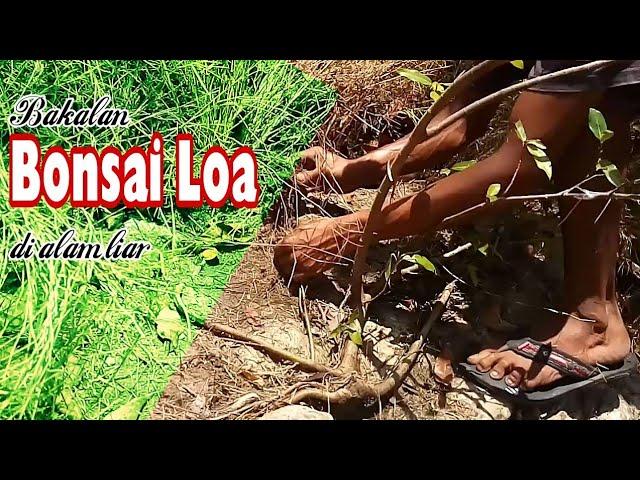 Babon Loa di pinggiran sungai kering
