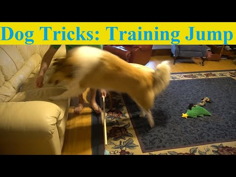 Dog Tricks: Teaching My Dog to Jump Over a Dowel Rod!
