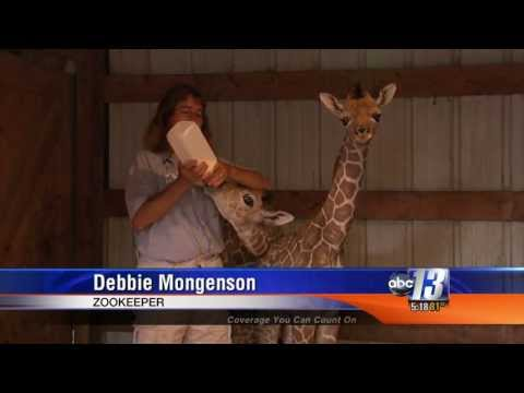 Thumbnail: Rare, Twin Giraffe's born in VA