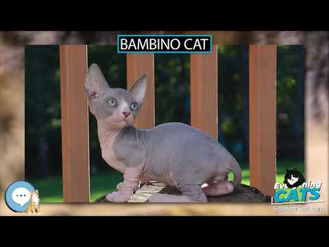 Bambino cat  EVERYTHING CATS