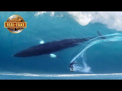HUGE WHALE JOINS SURFER ON BIG WAVE – real or fake?