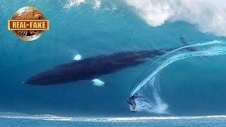 HUGE WHALE JOINS SURFER ON BIG WAVE - real or fake?
