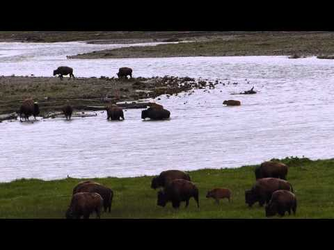 The Lamar-velous Bison of Yellowstone!