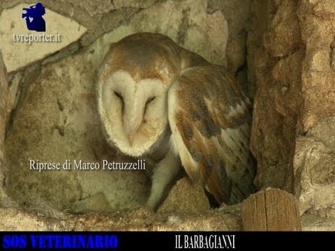 SOS VETERINARIO: IL BARBAGIANNI -THE BARN OWL