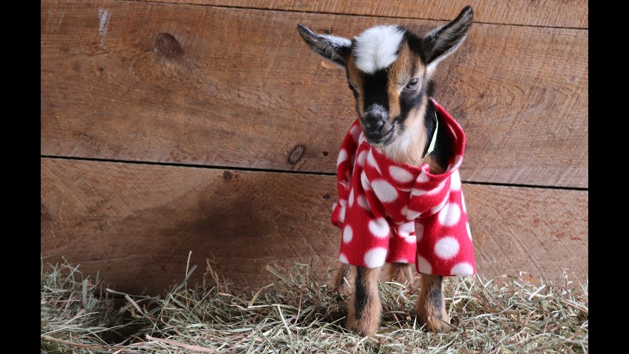 The Greatest Goat Kid Pj Party Ever Youtube