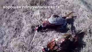 Охота на фазана в Ростовской области видео