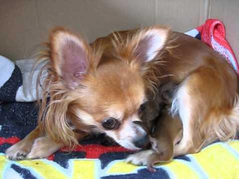 Chihuahua Emma  Welpen Geburt 19.4.2013 Puppies