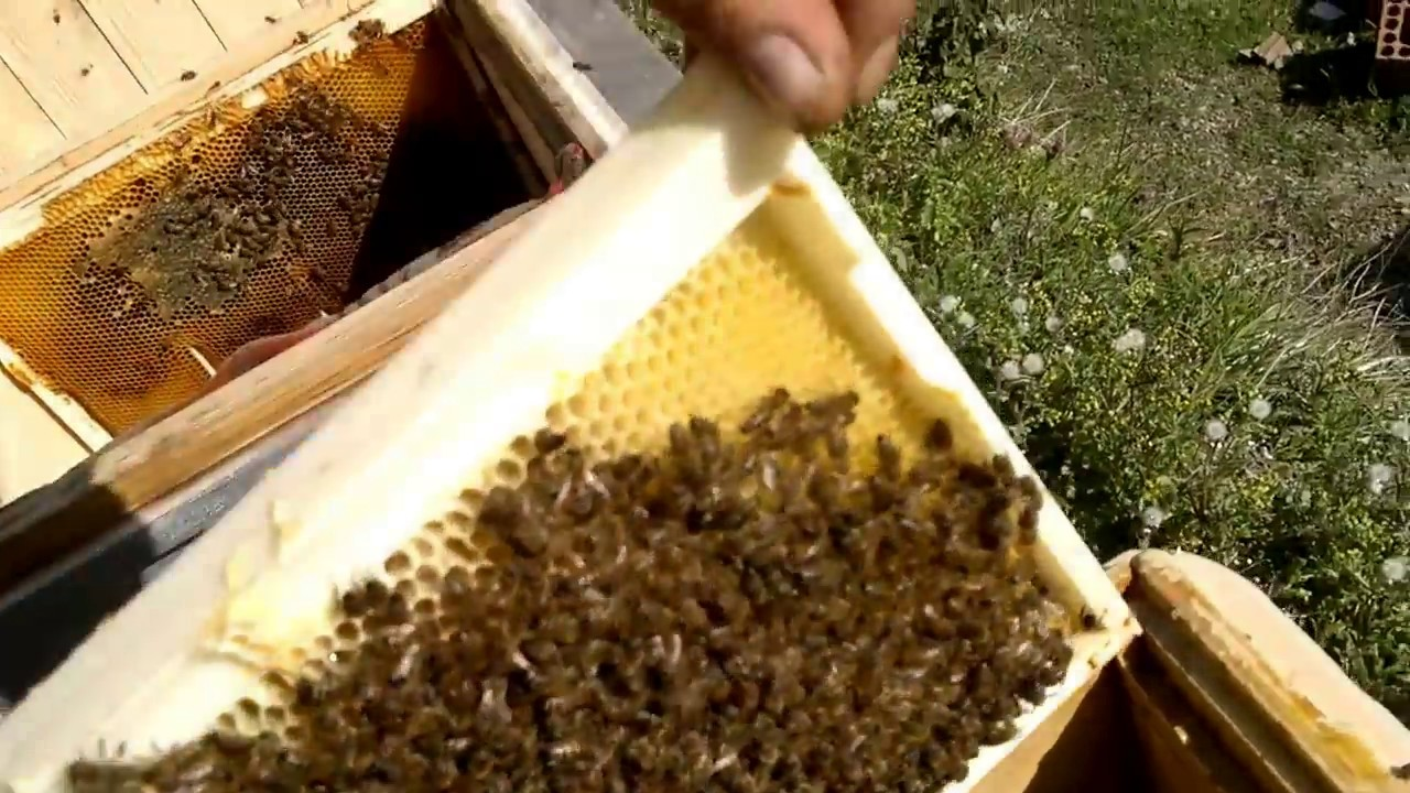 Arılar: kışın arı bakım. Kışın ve ilkbahardaki arı bakım teknolojisi