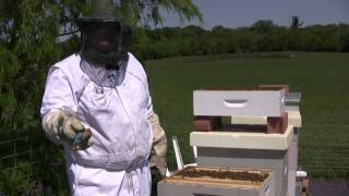 Beekeeping - Dusting for Varroa Mites PART ONE .mov