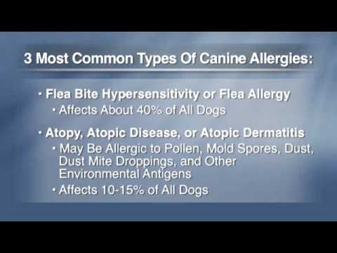 Understanding and Treating Canine Allergies