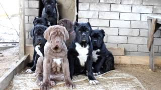 Русский мастиф, щенки 3,5 мес.