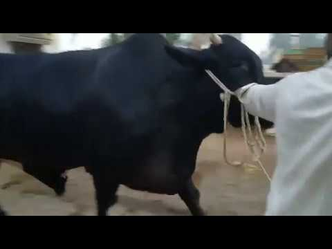 Big Black Jet Bull Demand 10 Lac Six Teeth for SALE in Karachi for Qurbani at Bakra Eid 2019