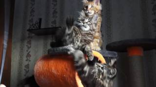 Братья АгаБай, Айдас и АгаХан - котята мейн-кун / питомник ЛИРИКУМ